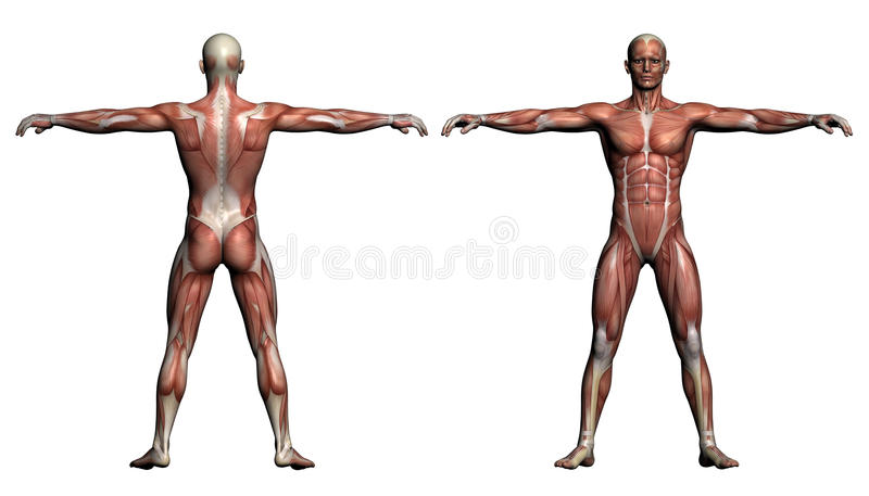 Human Anatomy - Male Muscles vector illustration