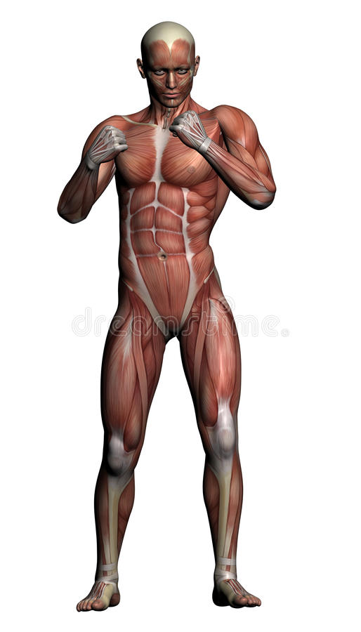 Download Human Anatomy - Male Muscles Stock Illustration - Image: 31633526