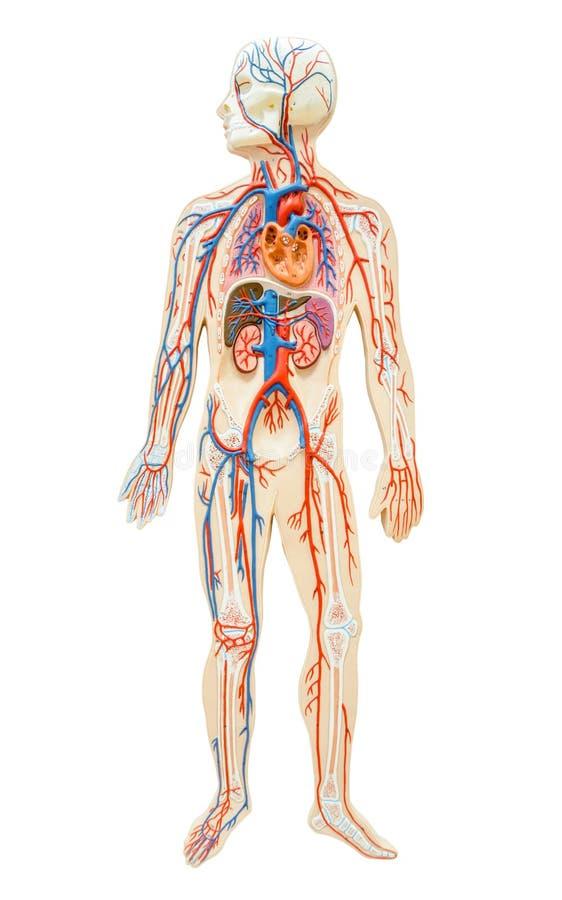 Human anatomy of man. stock photos