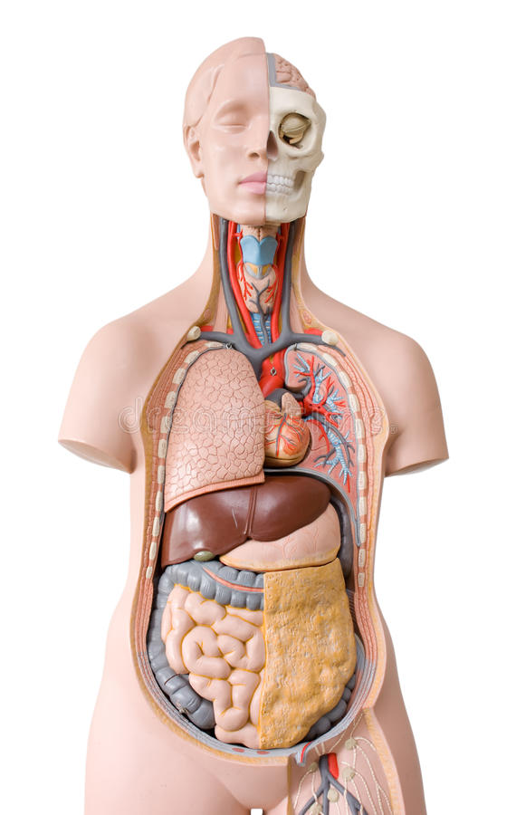 Human anatomy mannequin royalty free stock image