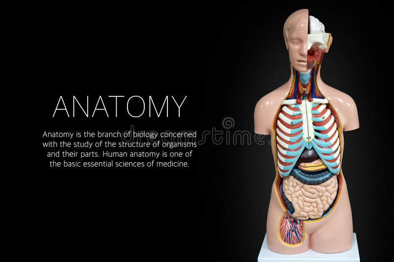 Human anatomy mannequin on black background. The arrangement of human organs stock image
