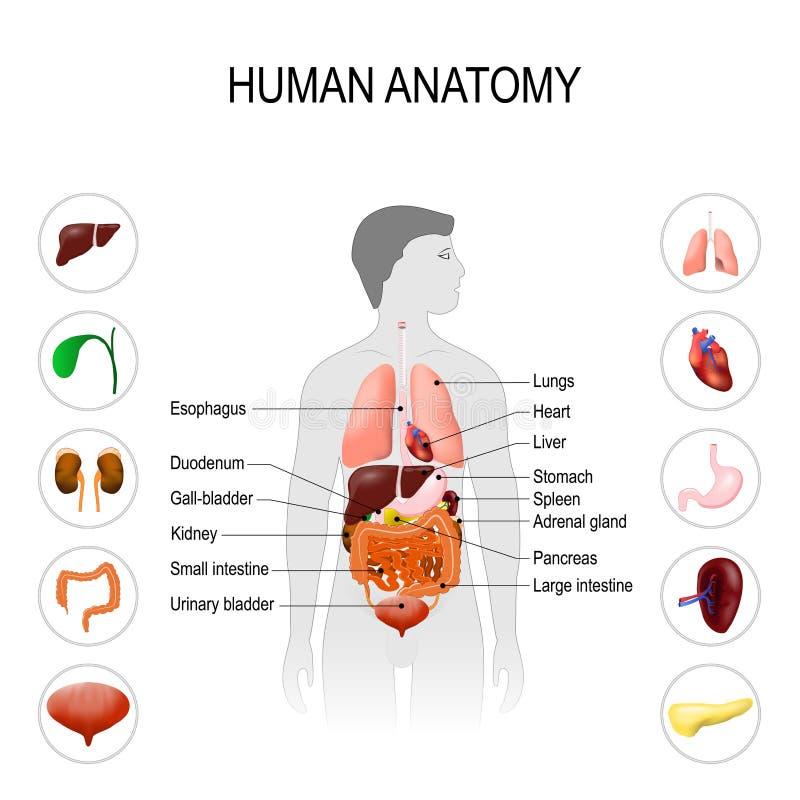 Human anatomy. Medical poster vector illustration