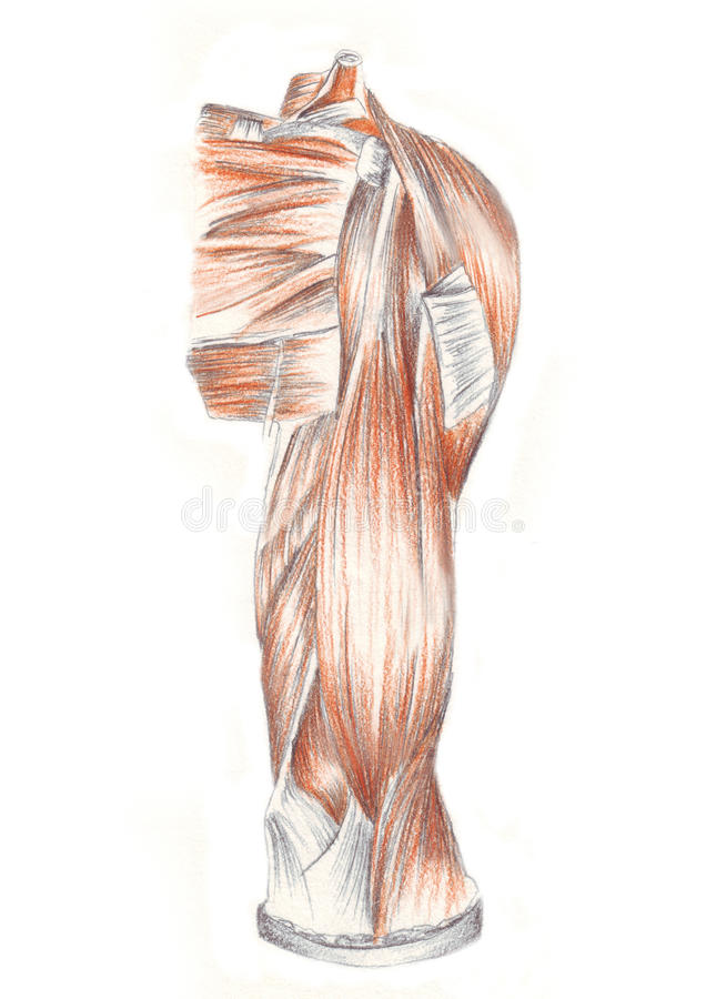 Human Anatomy Muscles Of The Back Shoulder Stock Illustration