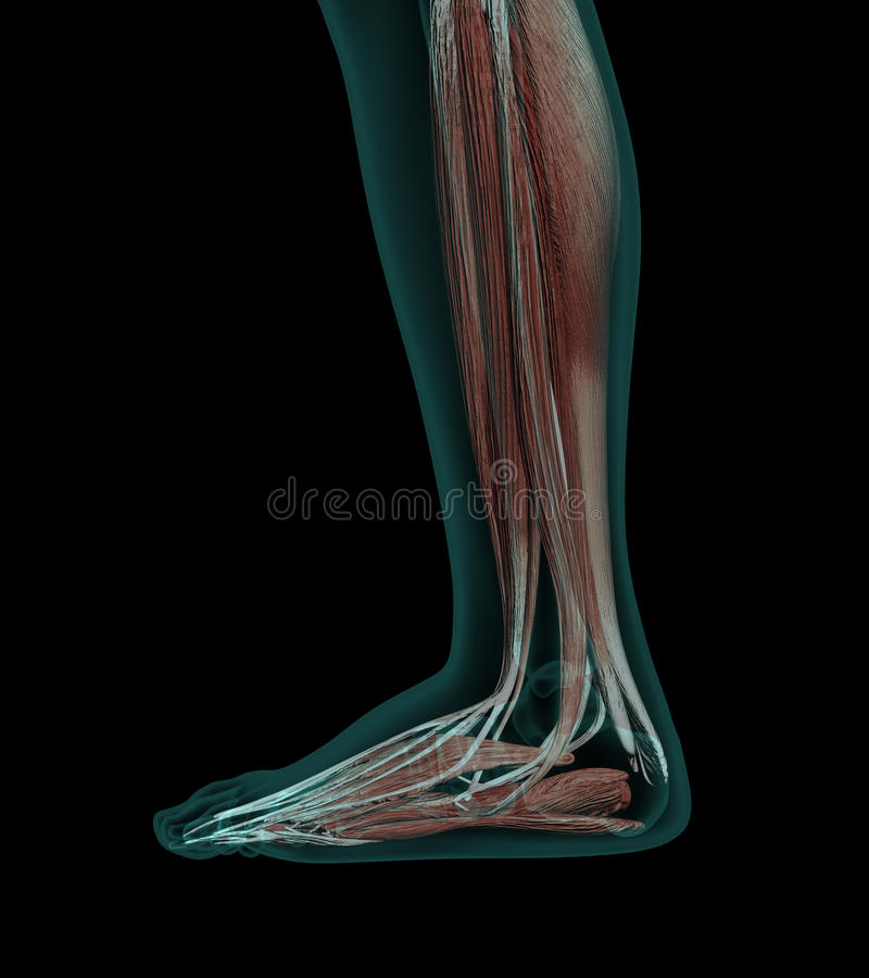 Human Anatomy Muscles of a leg. With bones x-ray wiev stock illustration
