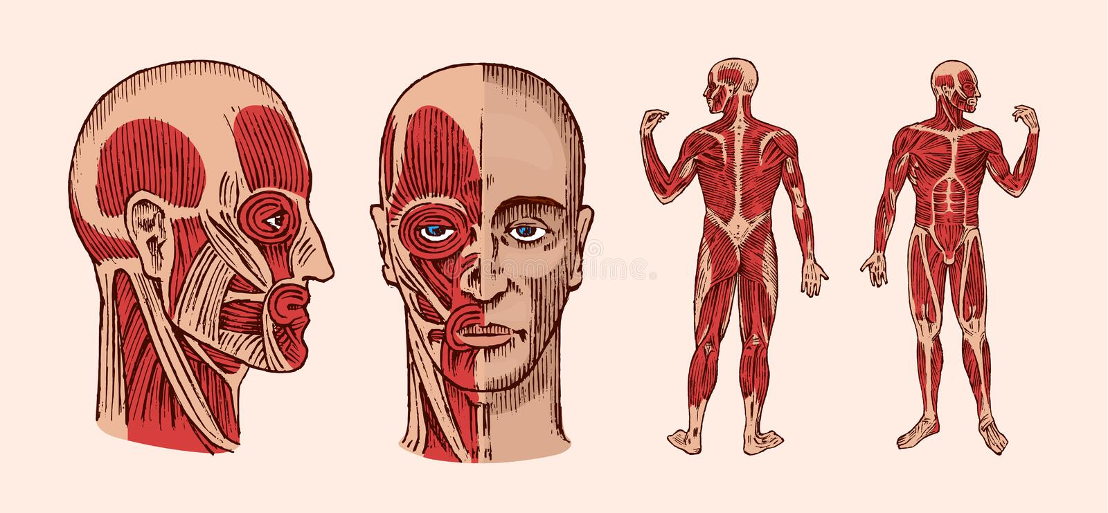 Human anatomy. Muscular and bone system of the head. Medical Vector illustration for science, medicine and biology. Male vector illustration