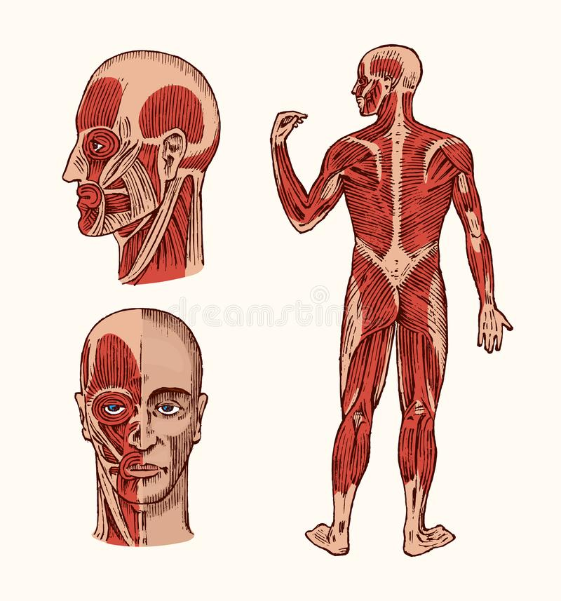 Human anatomy. Muscular and bone system of the head. Medical Vector illustration for science, medicine and biology. Male royalty free illustration