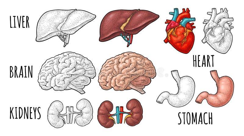 Human anatomy organs. Brain, kidney, heart, liver, stomach. Vector engraving royalty free illustration