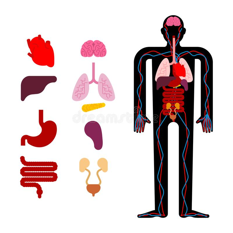 Human anatomy organs Internal. Systems of man body and organs. m stock illustration