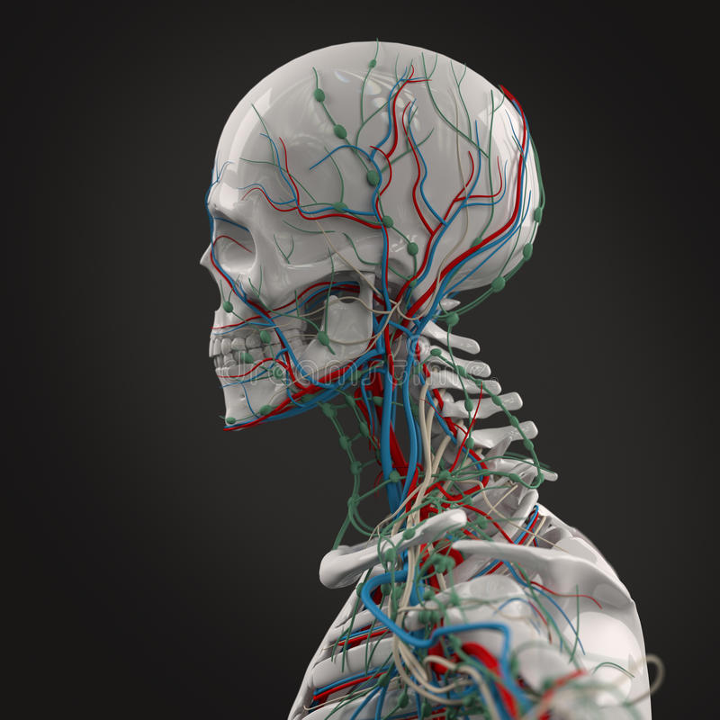 Human Anatomy Porcelain Skeleton Side View With Veins On