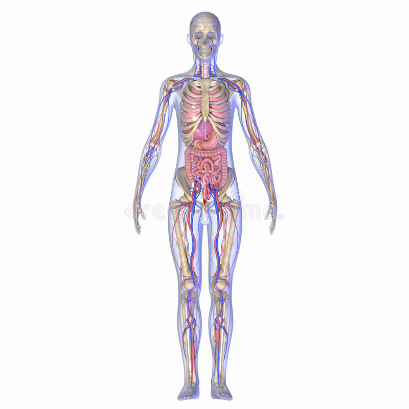 Human Anatomy. Is primarily the scientific study of the morphology of the human body. Anatomy is subdivided into gross anatomy and microscopic anatomy ( vector illustration
