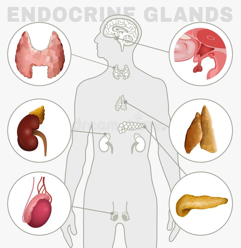 Endocrine Glands Image stock vector. Illustration of editable ...
