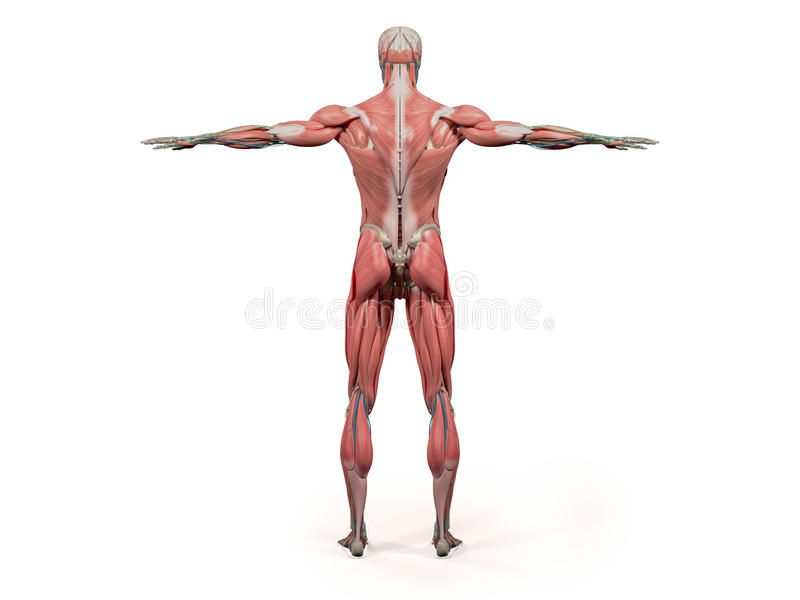 Human Anatomy Showing Back Full Body, Head, Shoulders And Torso ...