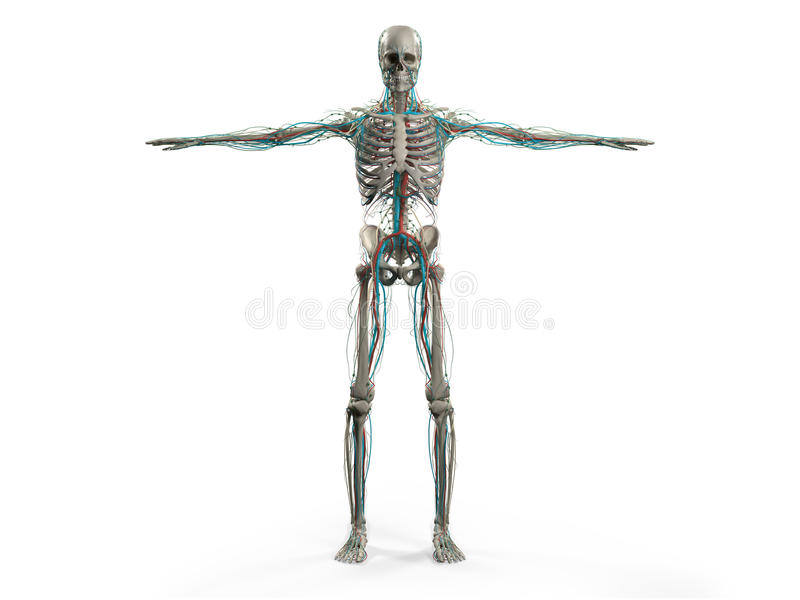 Human Anatomy Showing Front Full Body Head Shoulders And Torso