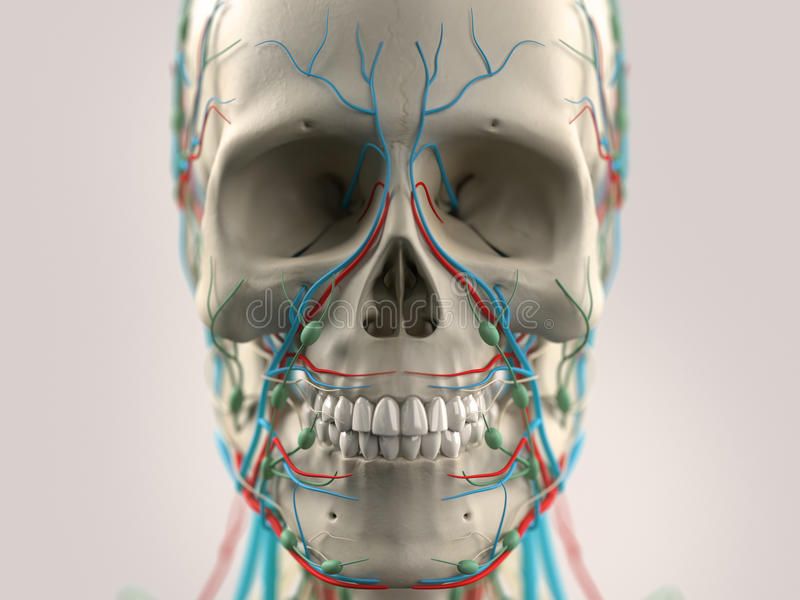 Human anatomy showing head, nose, face. On light background. Human anatomy showing head, nose, face with skull visible. On light background royalty free stock photo