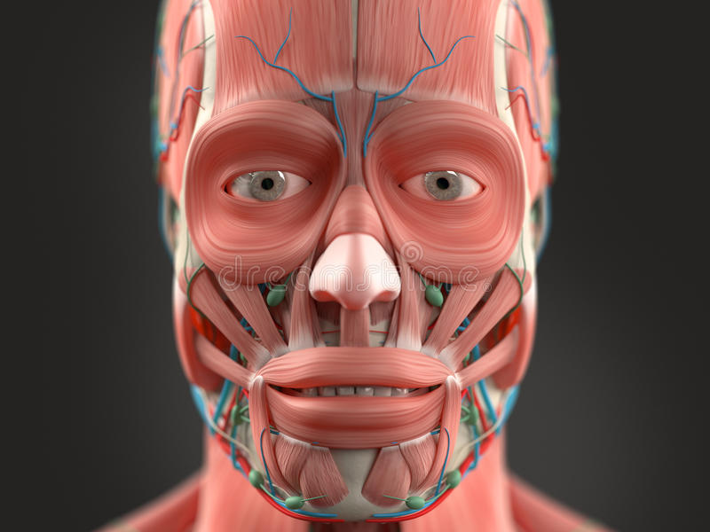 Human Anatomy Showing Head, Nose, Face. Stock Photo - Image of face ...