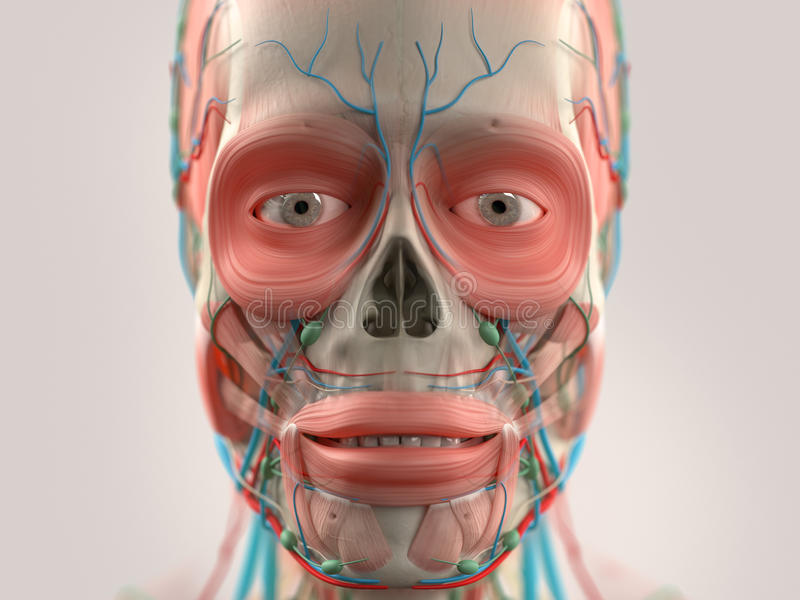Human Anatomy Showing Head, Nose, Face. Stock Image - Image of nose ...