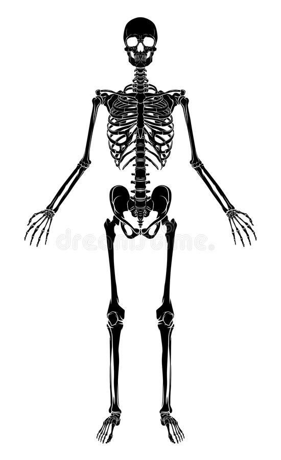 Human Anatomy Skeleton royalty free illustration