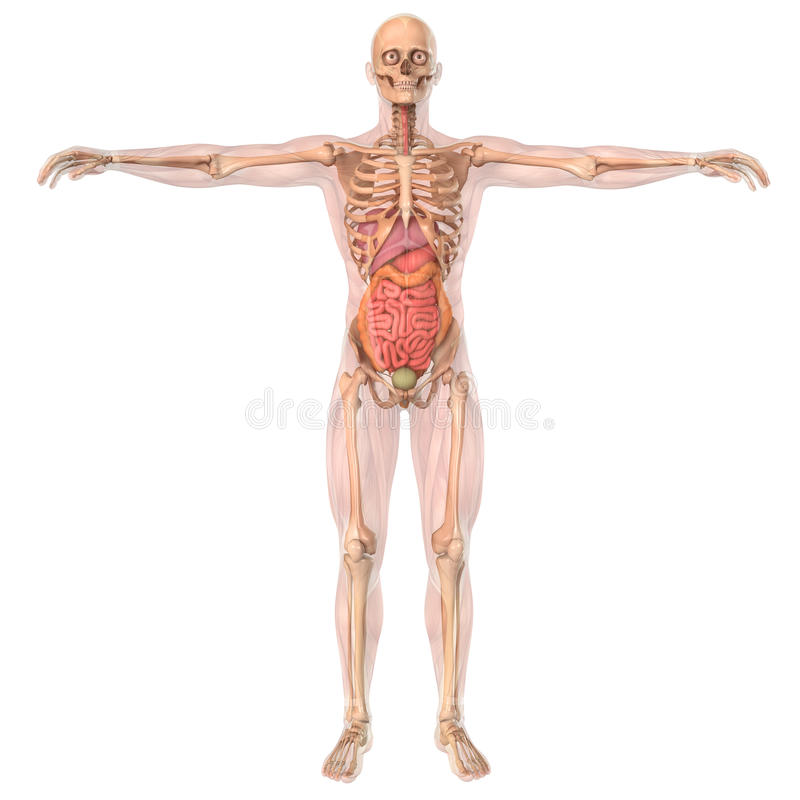 Human Anatomy Skeleton And Organs Stock Illustration Illustration