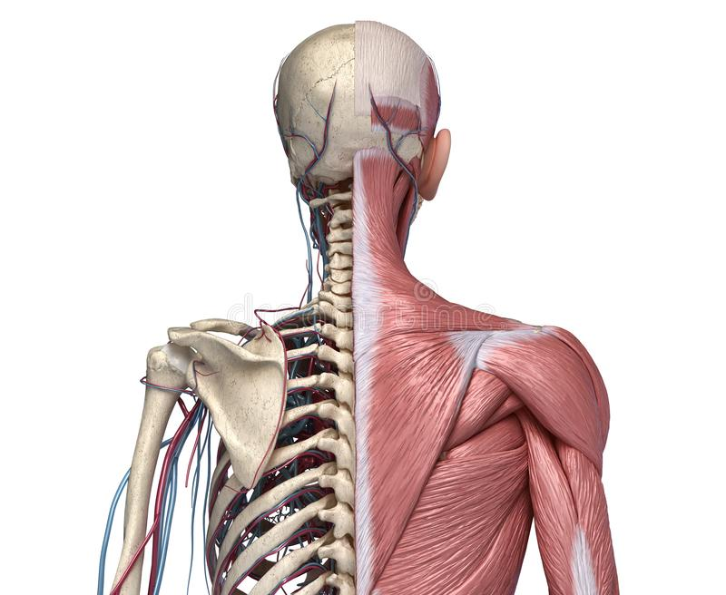 Human Torso skeleton with muscles, veins and arteries. Back view vector illustration