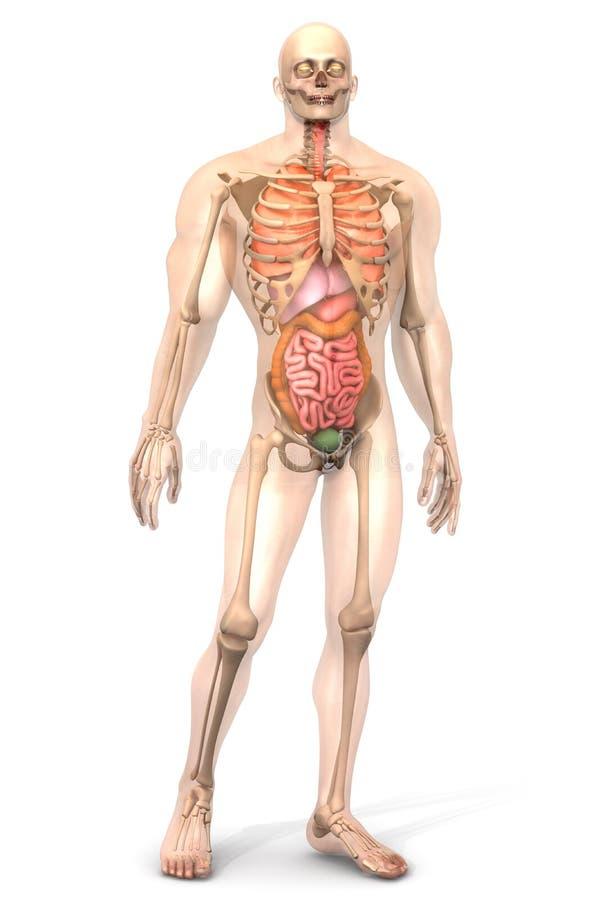 Human Anatomy Visualization Internal Organs Stock Illustration