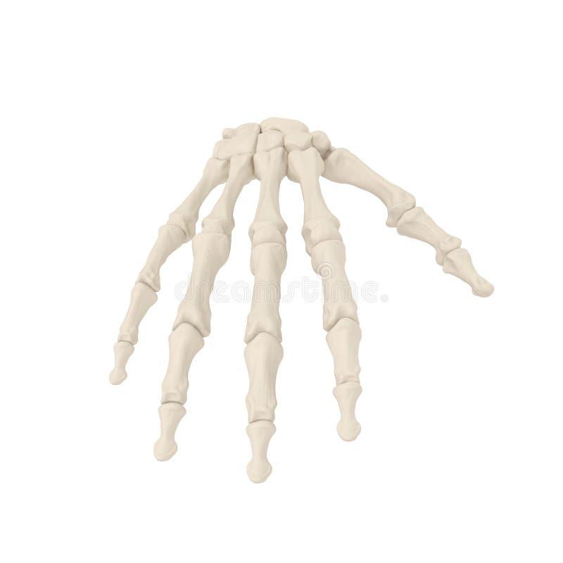 Human Arm Bones on white. 3D illustration. Human Arm Bones on white background. 3D illustration stock images