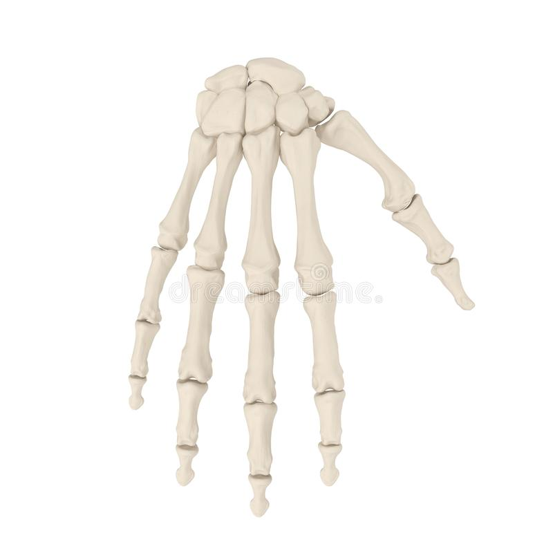Human Arm Bones on white. 3D illustration. Human Arm Bones on white background. 3D illustration stock photos