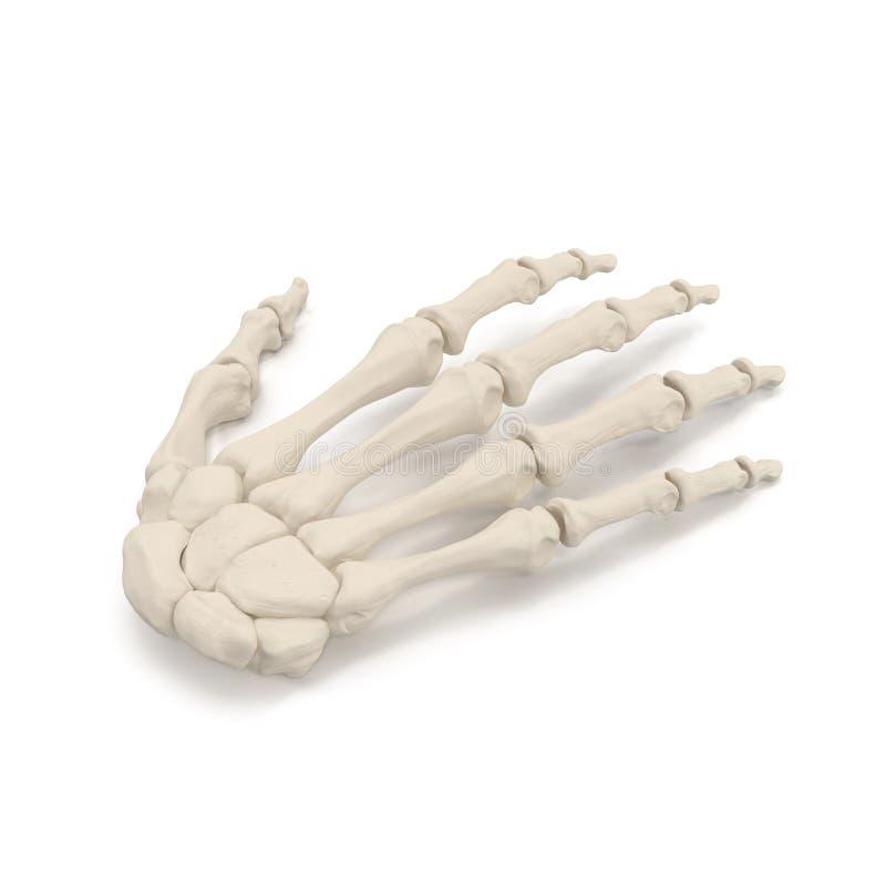 Human Arm Bones on white. 3D illustration. Human Arm Bones on white background. 3D illustration stock image