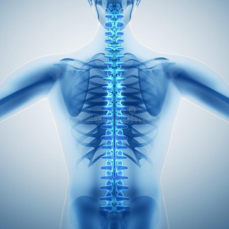 Human backbone. Illustration. X-ray style vector illustration
