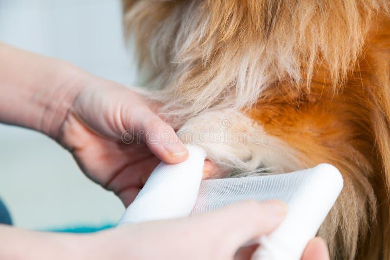 Download Human Bandage A Shetland Sheepdog Stock Photo - Image: 83719580