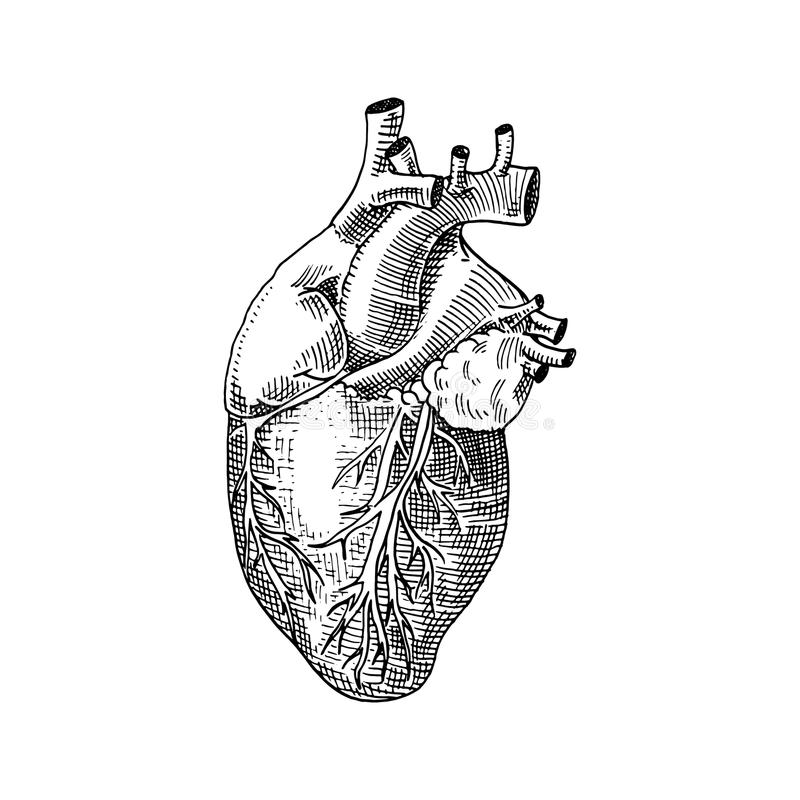 Human biology, organs anatomy illustration. engraved hand drawn in old sketch and vintage style. body detailed heart or stock illustration