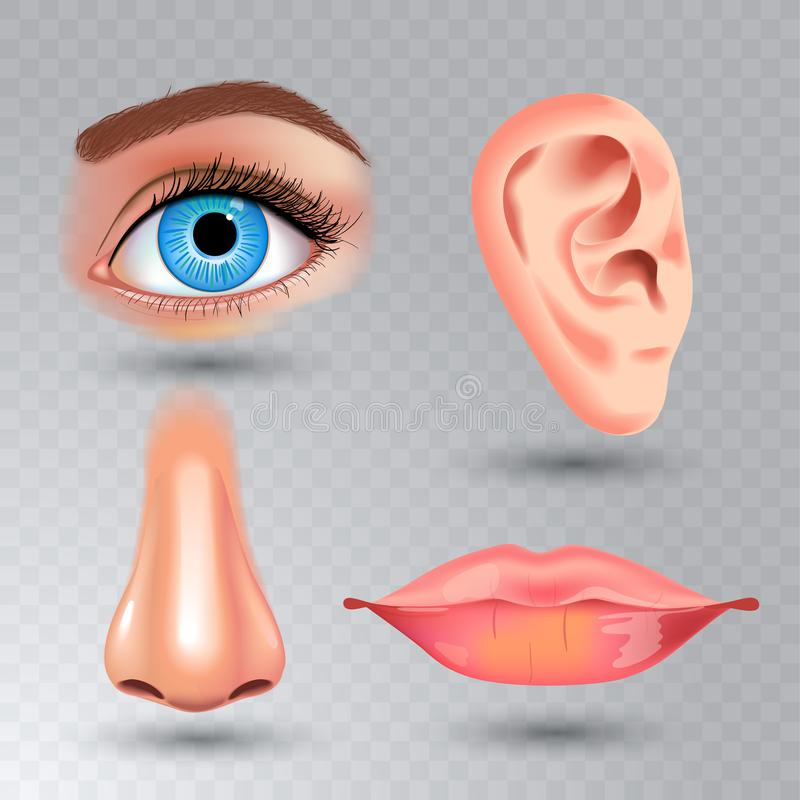 Human biology, organs anatomy illustration. realistic style. face detailed kiss or lips and ear, eye or view, look with. Human biology, organs anatomy stock illustration
