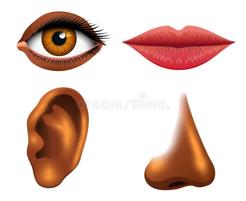Human biology, sensory organs, anatomy illustration. face detailed kiss or lips, nose and ear, eye or view. set medical stock illustration