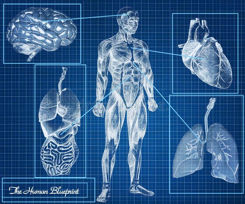 The Human Blueprint concept royalty free illustration