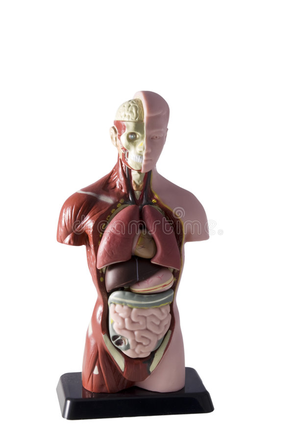 Human body royalty free stock photos