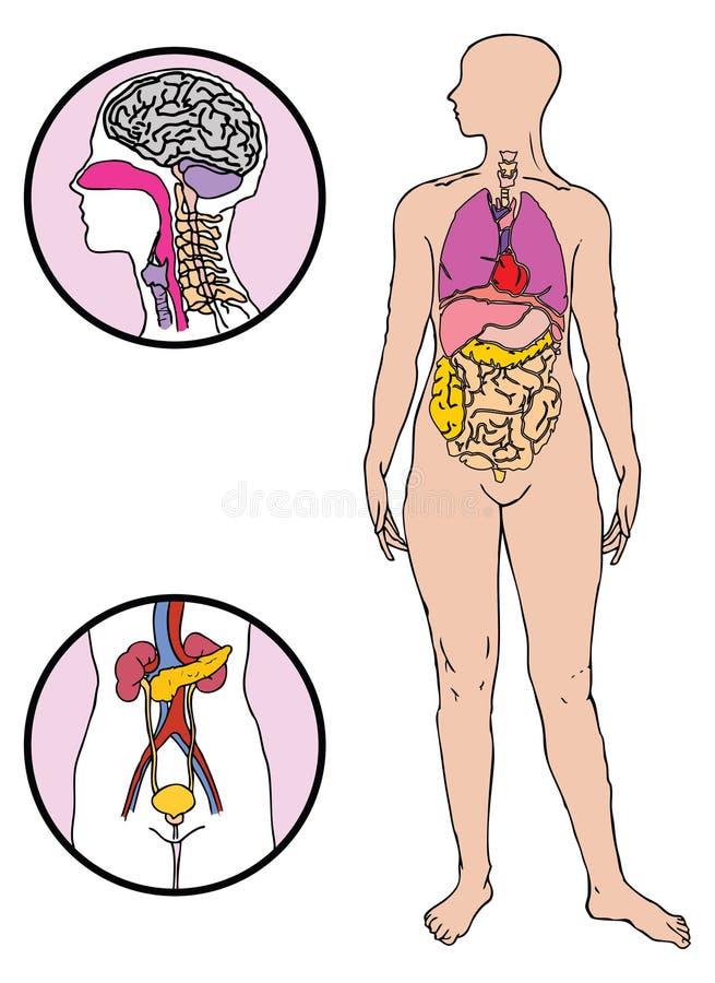 Download Human body stock vector. Image of vector, human, body - 6230149