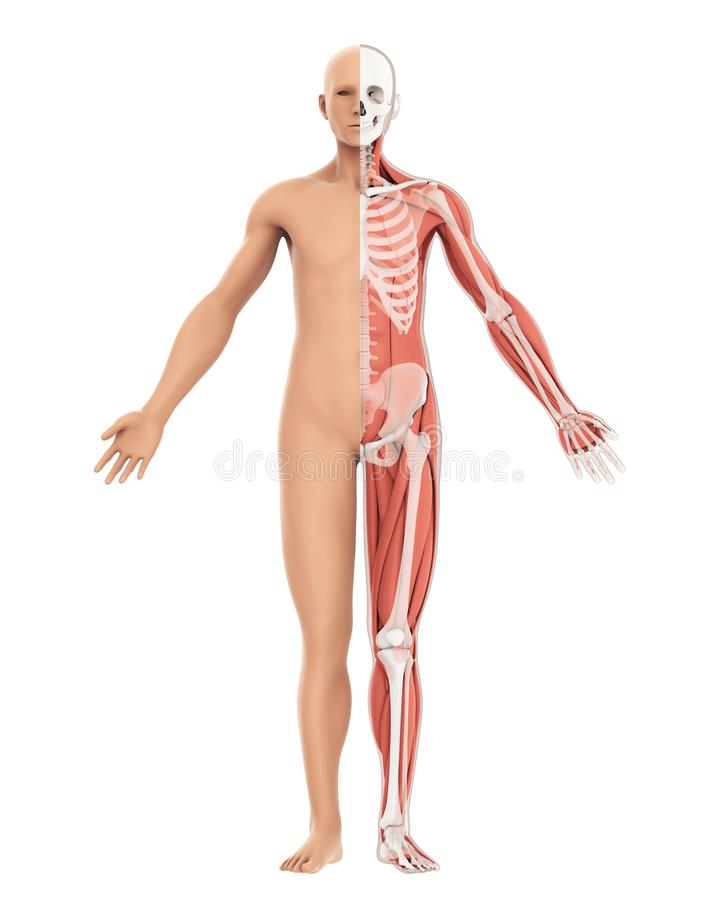 Human Body amd Skeleton Anatomy Isolated. On white background. 3D render royalty free illustration
