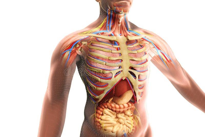 The human body anatomy stock illustration