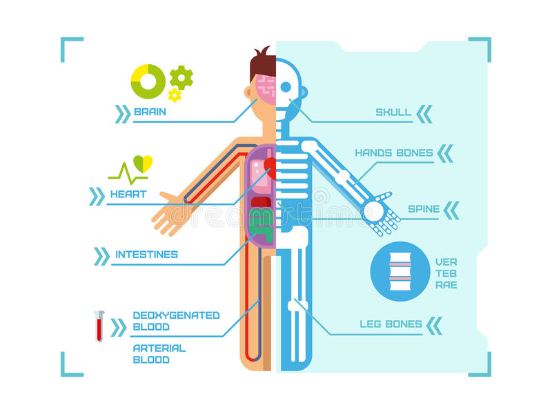 Human Body Anatomy Infographic Flat Design on Blue royalty free illustration