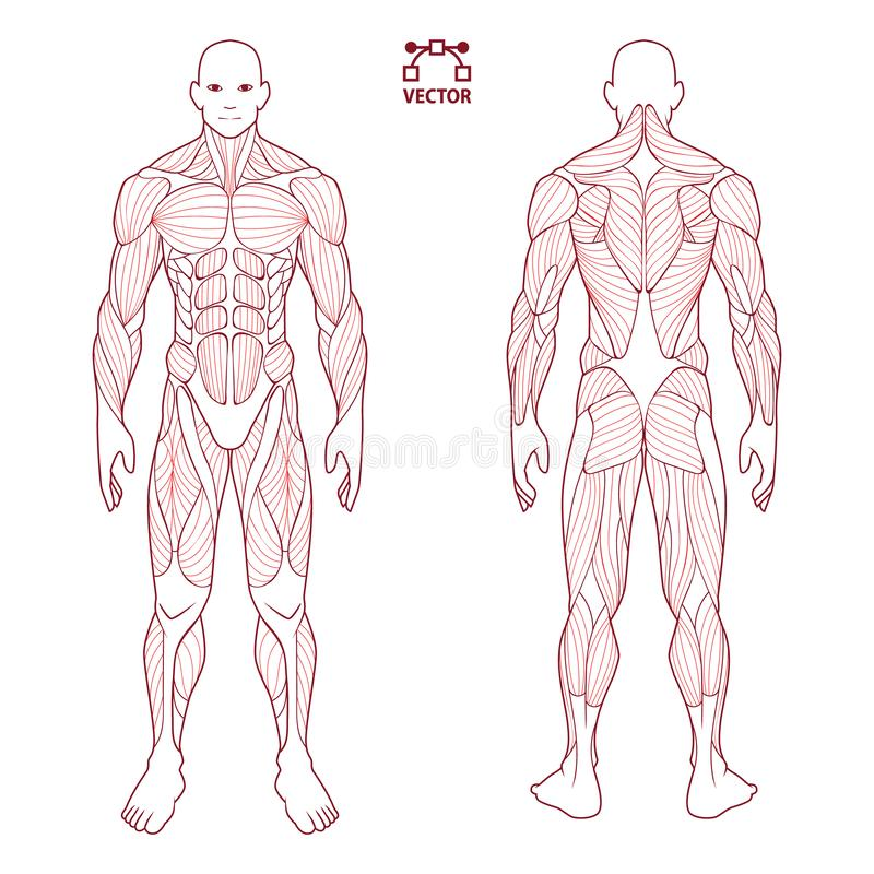 Human body anatomy male man , front and back muscular system of muscles . flat medical scheme poster of training healthcare gym ,. Illustration shape vector illustration