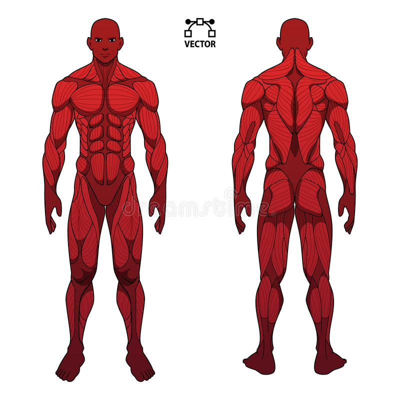 Human body anatomy male man , front and back muscular system of muscles . flat medical scheme poster of training healthcare gym ,. Illustration shape stock illustration