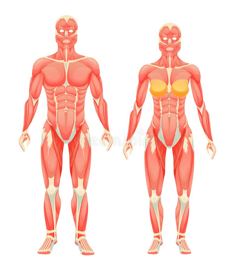 Anatomical structure of female and male human bodies, muscle system. royalty free illustration