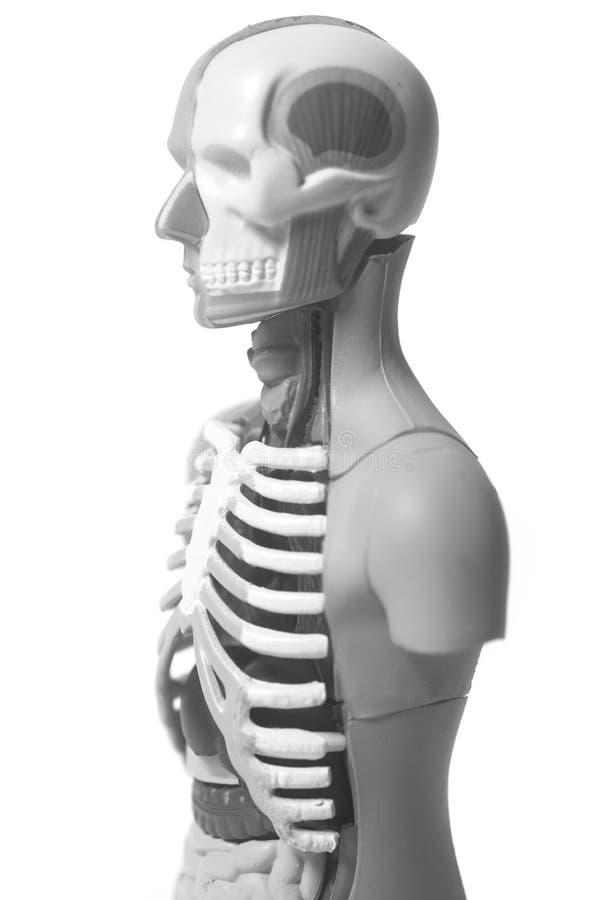 Human Body Anatomy Model stock image. Image of being - 105415791