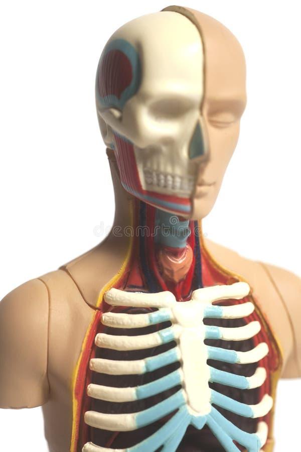 Human Body Anatomy Model Stock Photo Image Of Care 105416040