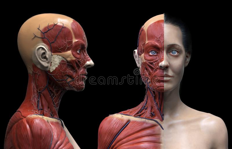 Human body anatomy muscles structure of a female. Front view isolated ,3d render vector illustration