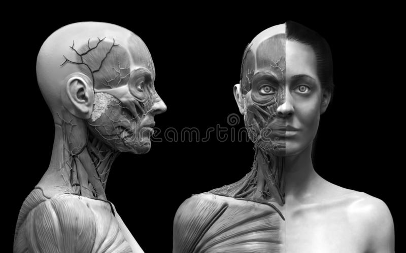 Human body anatomy muscles structure of a female. Front view and side view isolated ,3d render background stock illustration