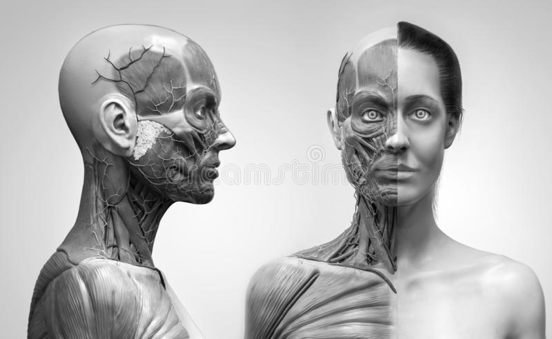 Human body anatomy muscles structure of a female. Front view and side view isolated ,3d render background vector illustration