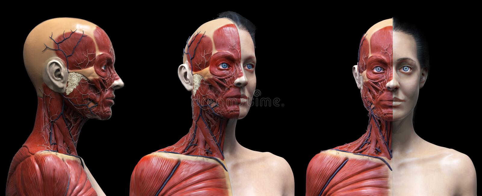 Human body anatomy muscles structure of a female. Front view , side view and perspective view isolated ,3d render background vector illustration