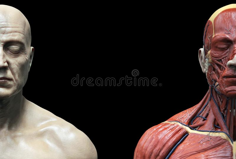 Human body anatomy muscles structure of a male. Front view , 3d render stock illustration