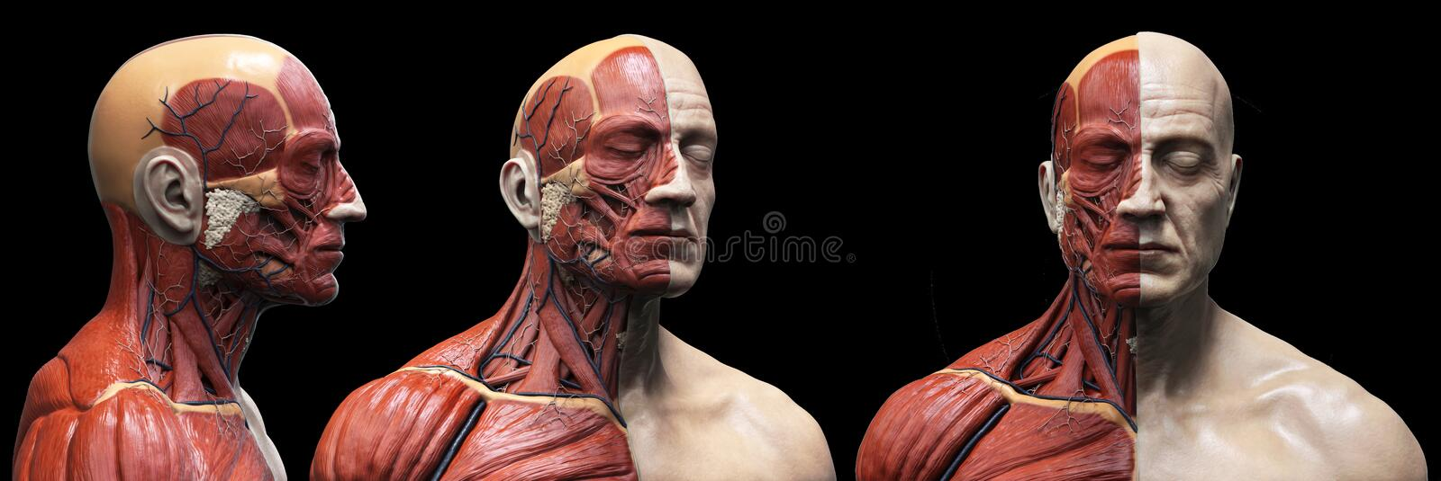 Human body anatomy muscles structure of a male. Front view  side view and perspective , 3d render vector illustration