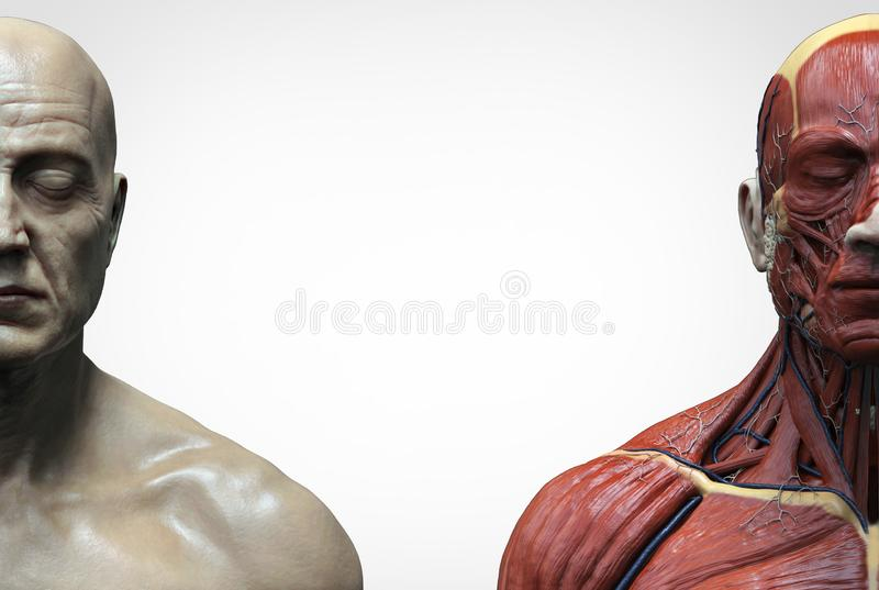 Human body anatomy muscles structure of a male. Front view  side view and perspective view, 3d render background royalty free illustration
